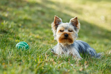 cute small yorkshire terrier is lying on a green lawn outdoor no people with green ball