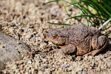 brown female toad in the sunny spring garden czech republic