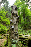 polyporus squamosus mushrooms growing on a dead tree in the forest doubrava valley czech republic
