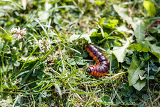 Fotografie large caterpillar fast moving on green grass leaf