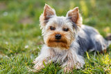 Fényképek cute small yorkshire terrier is sitting on a green lawn outdoor no people