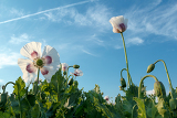 Fotografie agriculture poppy field against blue sky with detail of bloom