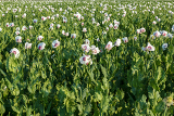 rural scene green agriculture poppy field with white flowers