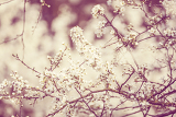 blossoming tree spring with very shallow focus background or backdrop use in retro color
