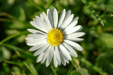 macro of small daisy flower on green lawn with shallow focus
