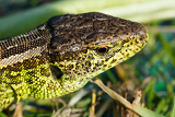 macro of small garden lizard lacerta agilis in nature