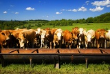 Fotografie Spring. Louka, herd, cows, farm, tank, breeding, cattle and blue sky.