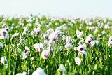 Fotografie rural scene green agriculture poppy field with white flowers