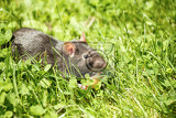 Fotografie rodent pet rat eating cake outdoor in grass