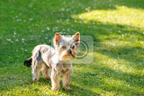 cute small yorkshire terrier on a green lawn outdoor no people