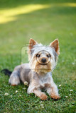 cute small yorkshire terrier is lying on a green lawn outdoor no people