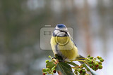 Fotografia Blue tit in winter landscape.