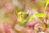 Photo Pale Clouded yellow butterfly on a leaf in a natural environment/Colias hyale