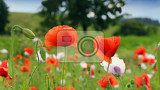 Fotografie Field full of red poppies