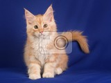 Photo portrait of sweet pet cat maine  coon