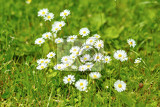 Fotografie small daisy flower on green lawn with shallow focus