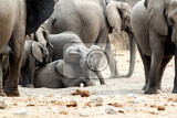 a herd of african elephants small elephant playing and drinking at a muddy waterhole etosha national park ombika kunene namibia true wildlife photography