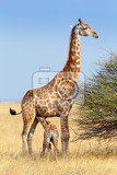 Photo adult female giraffe with calf suckling breast milk in etosha national park ombika kunene namibia true wildlife photography