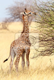 Photo small young grazing cute giraffe in etosha national park ombika kunene namibia true wildlife photography