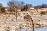 Photo giraffa camelopardalis drinking from waterhole in etosha national park ombika kunene namibia