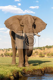 Fotografie portrait of african elephant in chobe national park botswana true wildlife photography