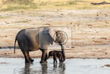 african elephants with baby elephant drinking at waterhole hwange national park matabeleland north zimbabwe true wildlife photography