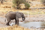 african elephants drinking at a muddy waterhole etosha national park ombika kunene namibia true wildlife photography