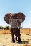 Fotografia portrait of african elephant in caprivi game park kavango namibia true wildlife photography