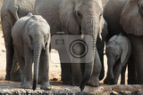 a herd of african elephants drinking at a muddy waterhole etosha national park ombika kunene namibia true wildlife photography