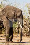 Fotografia portrait of african elephant in chobe national park botswana true wildlife photography