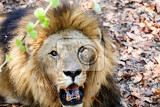Fotografia portrait of lion with open mouth shoving big teeth zimbabe livingstone