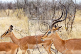 Photo springbok antidorcas marsupialis etosha national park ombika kunene namibia true wildlife photography