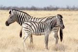 zebra foal with mother in african bush etosha national park ombika kunene namibia true wildlife photography