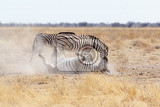 Photo zebra rolling on dusty white sand etosha national park ombika kunene namibia true wildlife photography