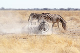 Fotografia zebra rolling on dusty white sand etosha national park ombika kunene namibia true wildlife photography