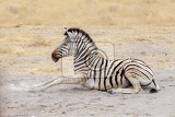Fotografia lying small zebra in african bush etosha national park ombika kunene namibia true wildlife photography