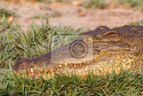 portrait of a nile crocodile crocodylus niloticus chobe national park in botswana