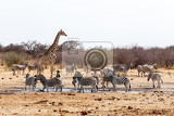 Fotografia giraffa camelopardalis and zebras drinking on waterhole in etosha national park ombika kunene namibia true wildlife