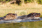two young male hippopotamus hippopotamus amphibius rehearse fray and figting with open mouth and showing tusk national park okawango botswana wildlife photography