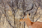portrait of springbok antidorcas marsupialis etosha national park ombika kunene namibia true wildlife photography