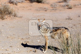 Photo blackbacked jackal canis mesomelaskgalagadi transfrontier park botswana true wildlife