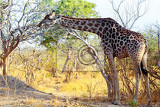 adult giraffe grazing on tree moremi game reserve okawango delta