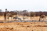 giraffa camelopardalis and zebras drinking on waterhole in etosha national park ombika kunene namibia true wildlife