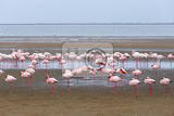 Fotografie huge colony of rosy flamingo in walvis bay namibia overcast true wildlife