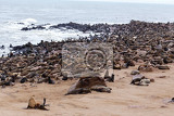 huge colony of brown fur seal arctocephalus pusillus in cape cross namibia wide angle view true wildlife photography