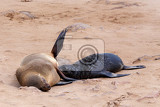 Fotografie small sea lion brown fur seal  arctocephalus pusillus in cape cross namibia true wildlife photografy