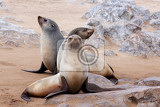 Fotografie portrait of brown fur seal arctocephalus pusillus in cape cross namibia wide angle view true wildlife photography