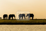 evening silhouette of african elephant in chobe national park botswana true wildlife photography