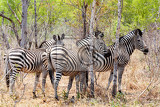 Photo zebra foal in african tree bush hwange national park zimbabwe true wildlife photography