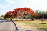 delonix regia flamboyant tree with blue sky and road